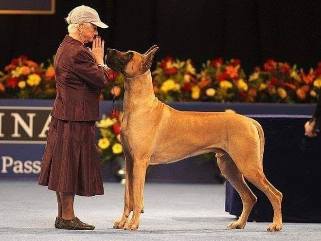 Pin By Boone Boone On Dogs National Dog Show Dane Dog Great