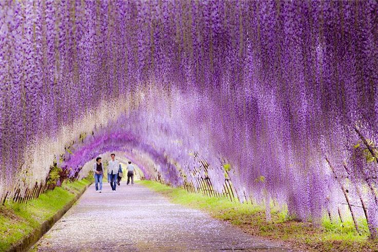 Túnel Wisteria, Japón   El túnel purpura que se forma gracias a las mas de 100 glicinas en los jardines de Kawachi Fuji en japón