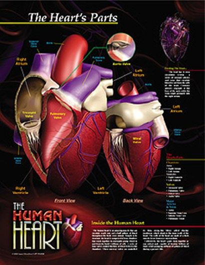 Although it weighs just 7 to 15 ounces, the heart pumps roughly 2,000 gallons of blood through your body every day. Located in the middle of the chest and just to the left of your breastbone, the heart is one giant muscle composed of just a few basic parts. Each part of the heart has a distinct function, but all the parts must work together seamlessly and simultaneously to keep blood moving through your body. [EducatorHub.com]