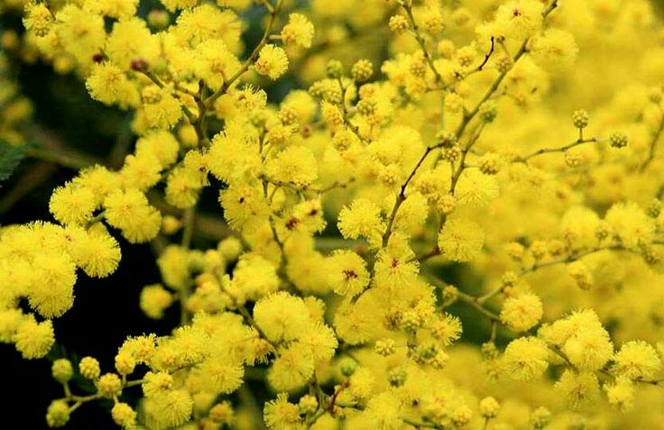 Coober Pedy SA - Wildflowers