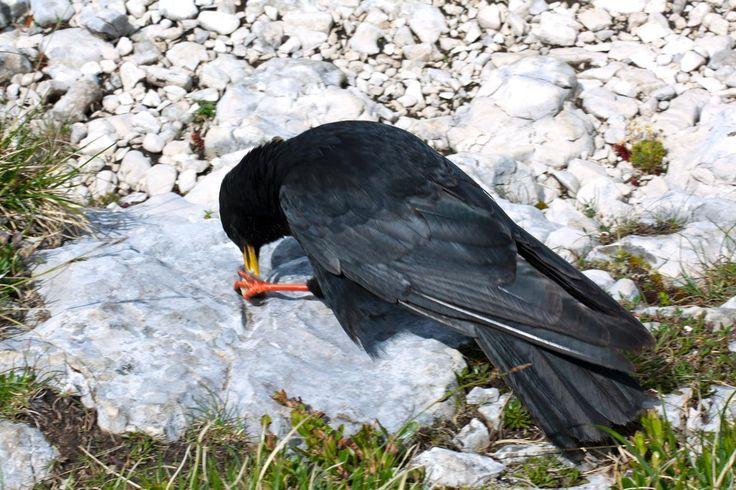 Oiseau montagne Chocard à bec jaune (Chamechaude - Massif de la Chartreuse)