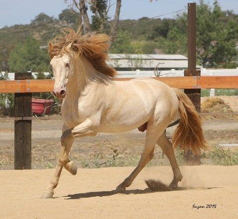 buckskin pearl - Pure Spanish Horse stallion Rey PM ...