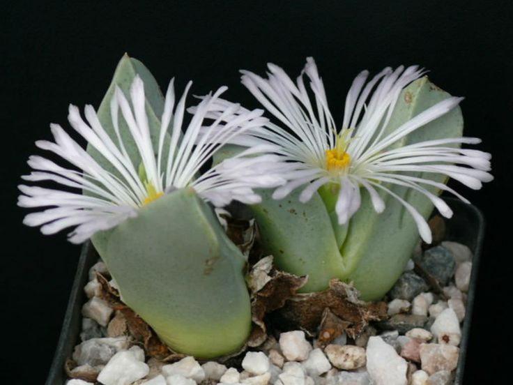 Conophytum herreanthus forms a ground-level clump of short branches growing paired, succulent leaf bodies. The bluish-green leaves become...