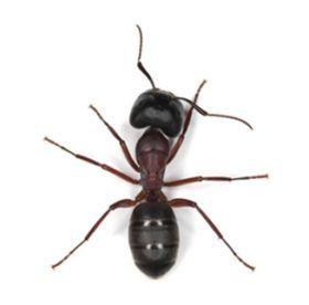 Как быстро вывести муравьев с дачного участка