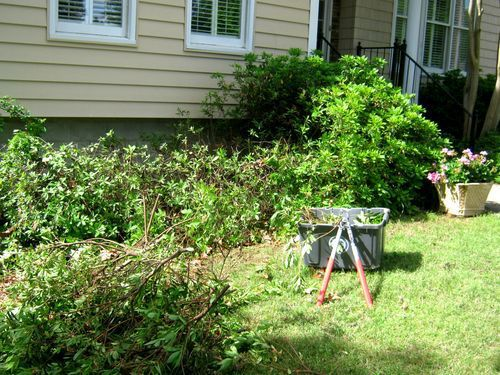 Pruning azaleas: As your hero and mentor, it pains me to say this, but Grumpy resorted to azalea murder. The azaleas needed to be reduced in size by half. This required loppers. I cut back the thickest branches first. I showed no mercy. Unlike many shrubs, you can cut them back beyond the foliage to bare wood. In a couple of weeks, the bare sticks will leaf out fully and no one will know that you pruned.