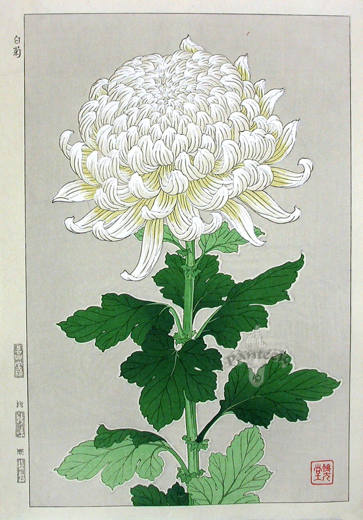 Best 25 Japanese Chrysanthemum Ideas On Pinterest