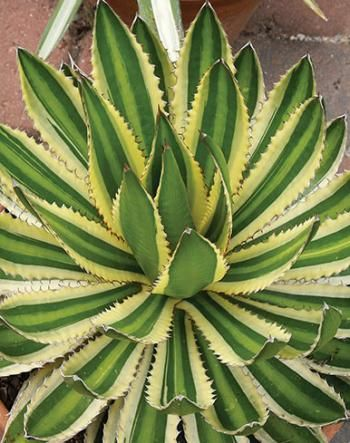 """Agave lophantha """"Quadricolor"""" is beautiful.  Grows 18"""" tall by 2 ' wide with lots of pups."""