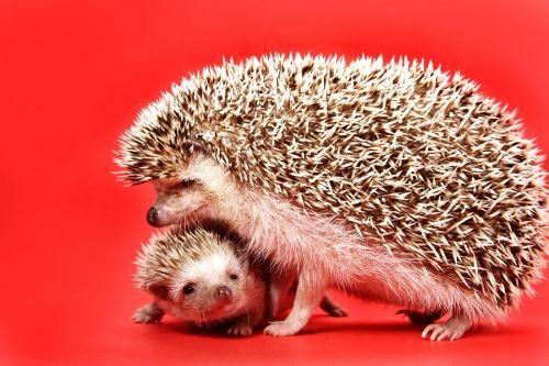 Hedgehog family :)