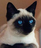 Siamese cat. Beautiful.