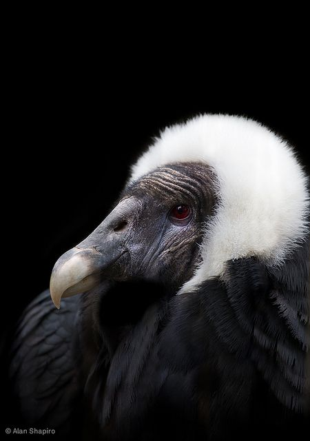Beatriz, Queen of the Andean Condors by alan shapiro photography, via Flickr