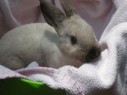 Mini Rex Rabbits for sale.