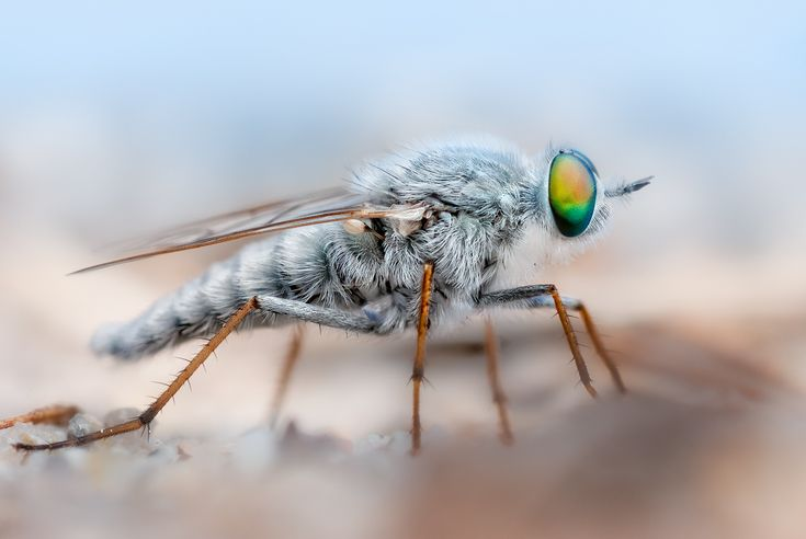 Stiletto fly on the beach (Therevidae are a family of Diptera Asiloidea commonly known as stiletto flies)