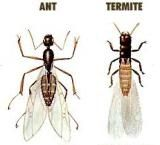 Get Flying Ants Under Control with These 10 Tips: Comparing the ant and the termite