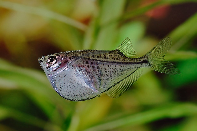 17 best images about animals hatchetfish on pinterest for Freshwater fish facts