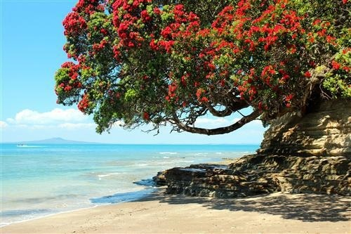 Pohutakawa tree - Christmas in NZ
