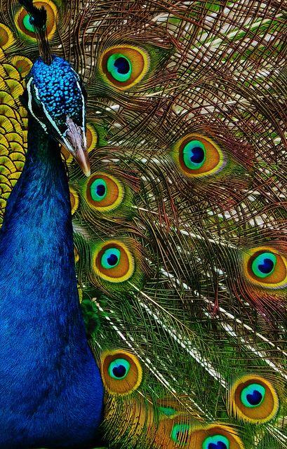 Peacock. Bedroom colors