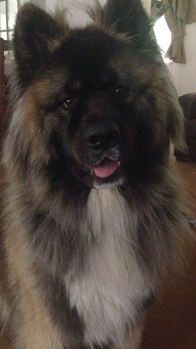 Fantastic Akita Chubby Adorable Dog - 86436846686505d7a1228ba4a6c0c2b9--animal-hugs-japanese-akita  HD_423119  .jpg