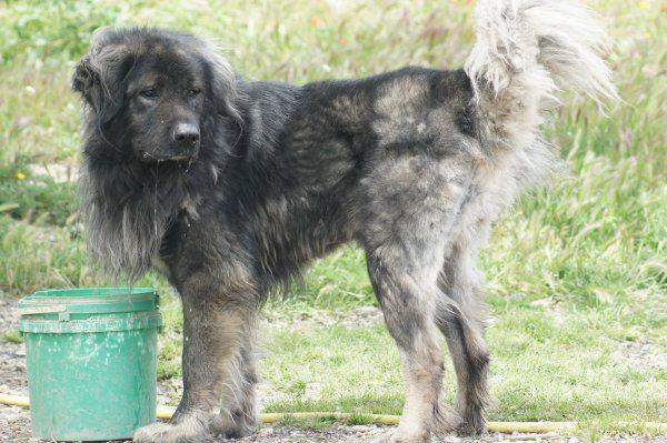 Caron, berger du caucase, 4ans1/2, contact : SPA MARSEILLE PROVENCE 0820 820 896