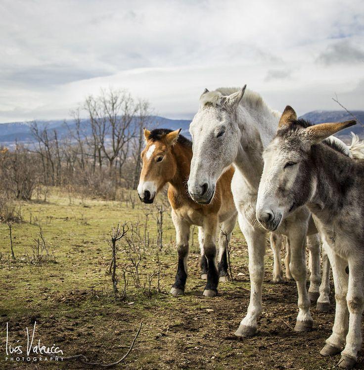 Los tres equinos