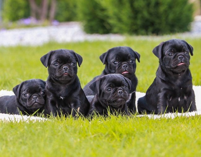 Cute Black Pug Puppies