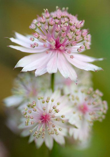 Astrantia - a favourite woodland flower. Like it in all the colours. I want pinks and peach ones so much! <3