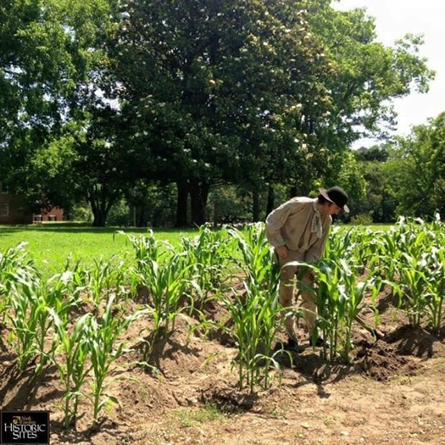 Frank is celebrating National Corn on the Cob Day by enjoying his corn crop at Historic Halifax!  ..  Thanks for sharing, @nchistoricsites!
