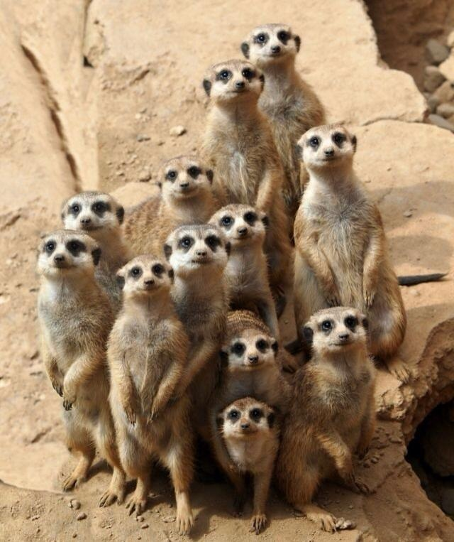 The meerkat or suricate, Suricata suricatta, is a small