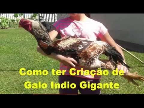 Galo Indio Gigante BOMBADO!!! - YouTube