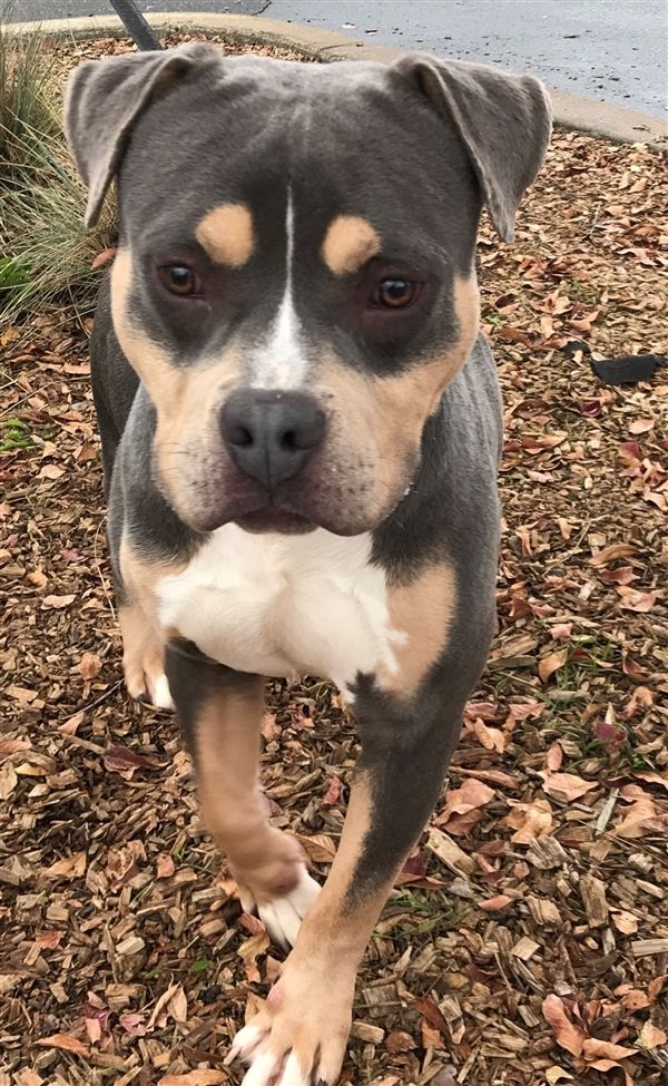 Adopt Nacho On Pitbull Terrier Dogs Best Dogs