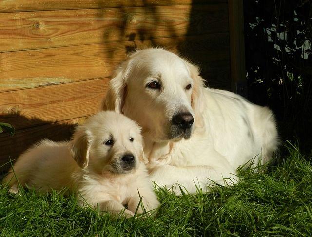 Free Image On Pixabay Dog Puppy Golden Retriever Dogs