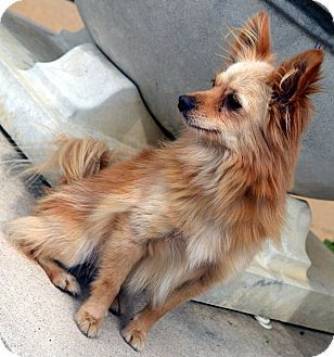Pictures of Tic Tac a Pomeranian/Chihuahua Mix for adoption in Bridgeton, MO who needs a loving home.