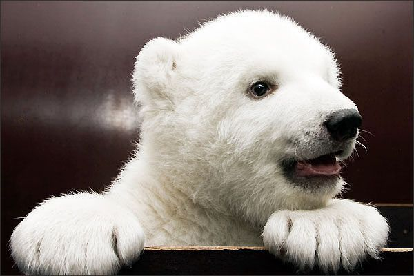 Hey guys! What's going on? Anything good? Yeah? I'm a tiny little polar bear just looking to make some friends.