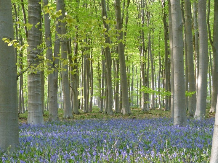 The bluebells are blanketing the forest floor at our newest location; Blackwood Forest in Hampshire - opens the 17th May 2013!