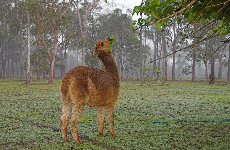 Alpaca Facts: 10 Things You Never Knew About The Llama's Quirky Relative #alpaca #animals #facts http://www.alpacablankets.com/