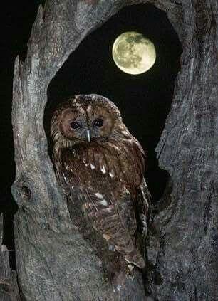 c.....Owl
