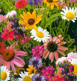 Plant this mix for cut flowers: Baby's Breath, Bachelors Buttons, Wildflower Siberian,