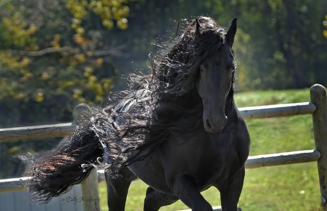 FREDRICK THE GREAT - one of the all time award winning Friesian Stallions