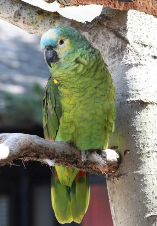 Birds Parrots Blue-fronted Amazon (Amazona aestiva) Blaustirnamazone (Amazona aestiva aestiva)