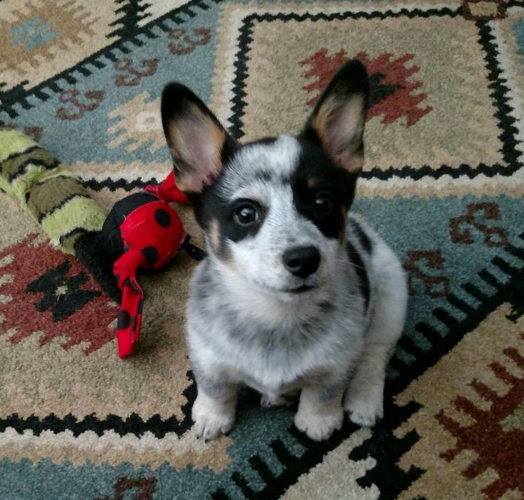 Cowboy Corgi Puppy Charlie Sitting Like A Big Boy Dogs