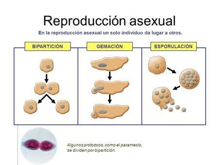 Reproducción asexual En la reproducción asexual un solo individuo da lugar a otros. Algunos protozoos, como el paramecio, se dividen por bipartición. BIPARTICIÓNGEMACIÓNESPORULACIÓN.