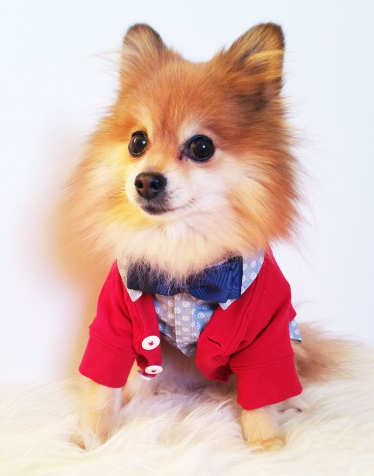 Dog Blue Shirt + Bowtie + Red Cardigan Outfit, Dog X-mas Gift, Birthday Gifts,XS~4XL size, puppy sweater,dog hoodie,dogs clothes,dog tuxedo by puppydoggyclothes on Etsy