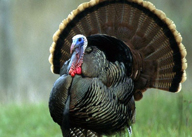 Turkey Recipes - Think Grilled! Candy, I thought you might like this one!!!