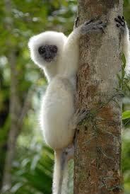 Sifakas: I sifaka sono animali arrampicatori e potenti saltatori, capaci di compiere balzi di oltre 10 m da un albero all'altro.Sono noti soprattutto per la curiosa andatura laterale che adottano per spostarsi al suolo.