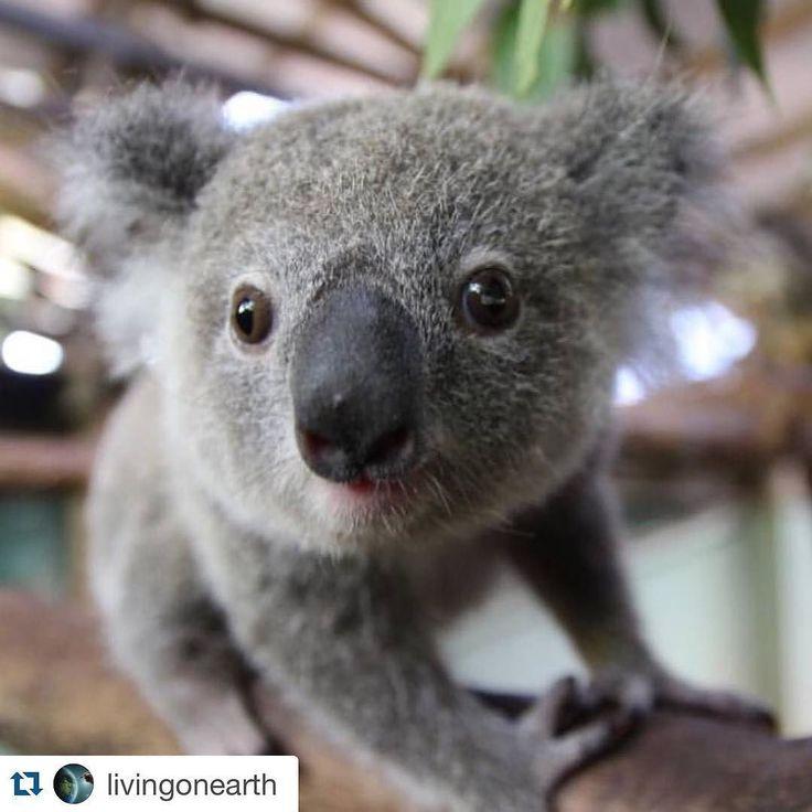 Koala Bear ❤️