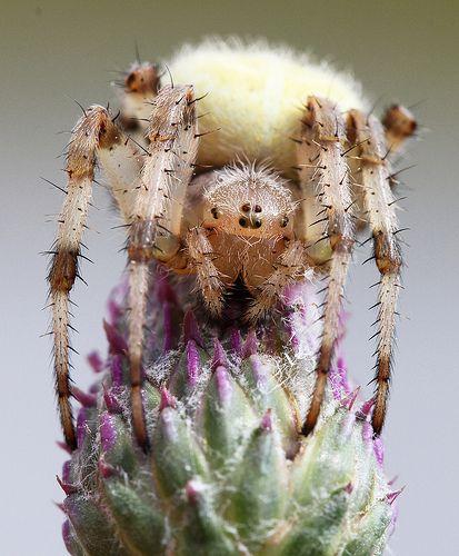 Four-spot Orb-weaver Spider