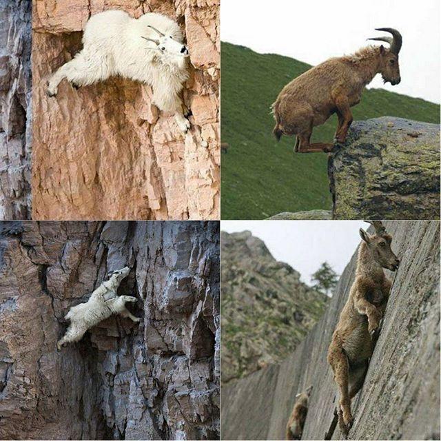 Вы когда-нибудь видели, как пасутся горные козлы? Да это высшие существа!