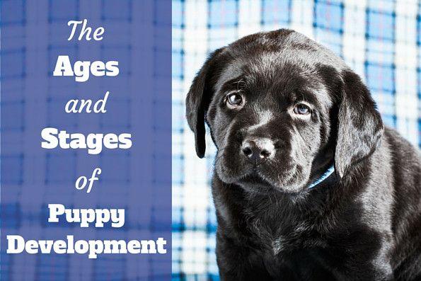 Stages of puppy development written beside a black labrador puppy