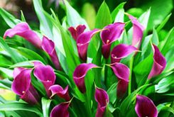 Calla Lily Bulbs | CalBulbs.com