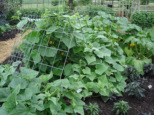 Cattle panel trellis is a perfect A-frame trellis for vegetables