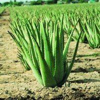 Mature Aloe Barbadensis Miller Plant